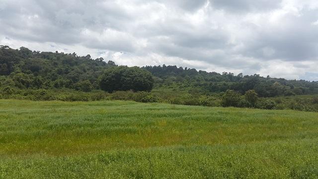 Oat Field in Laikipia